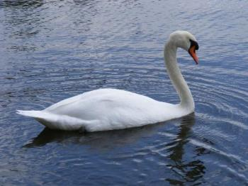 swan in a canal in my town today - swan swimming in a canal in lelystad
