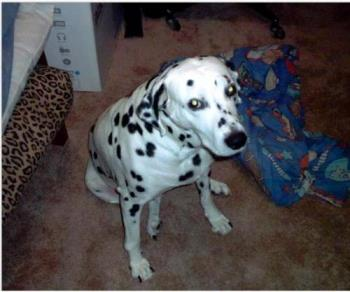 Lab-dalmatin mix - This is a picture of my sister's dog, she is a lab-dalmation mix. All lab personality