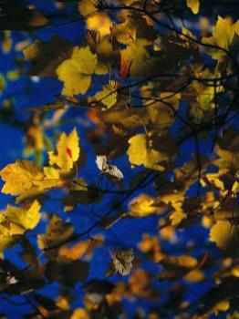 Mape Leaves In The Fall - photo of fall leaves