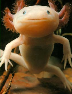 strange creature - this is a axolotl