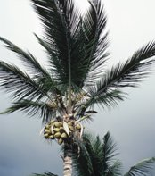 Coconut Tree - Coconut Oil which is made from coconut is said to be the Smarter Fat That Helps Promote Weight Loss.