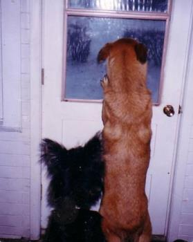 Dogs waiting for my hubby to come home - This photo was taken when my hubby went to run some errands. The dogs waited for him by the door and our female Tasha kept standing up to look through the windows to see if he was coming. Just another example of why we love all our pets...they are wonderful beings in furry coats!