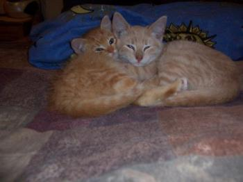 Two kittens snuggling together - This photo is of 2 of our 5 cats...when they were kittens. The smallest male orange ginger cat is Teeh-Too..he has a bigger twin brother named Tigger. The beige one is a male named Nova. We had just brought them home from the barn where they were raised and they were snuggling together for comfort.