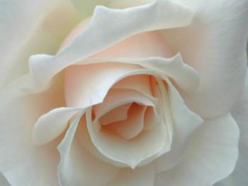 white rose - Its pure and elegant.