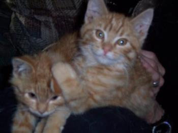 Ginger Twin Male Kittens Tigger and Tee-Tooh - Two of our 5 cats...male ginger twins Tigger and Tee-Tooh around 3 months old.