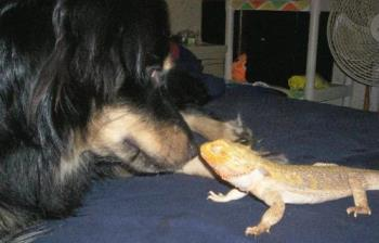 Star and Piston - This is my australian shepard star and our bearded dragon piston. They get along very well.