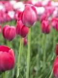 Pink Flowers - A bunch of beautiful flowers.