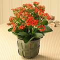 hai - flower plant