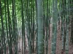 Big Bamboo Sea  - green ocean of bamboo in Anji