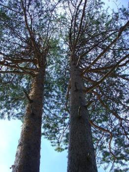 Two Friends - Took a pic of these trees in downtown Sodankylä, Finland.