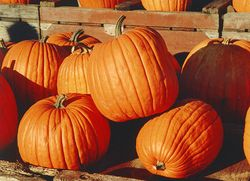 Pumpkins - Many people devote a great deal of time to growing the largest possible pumpkins.
