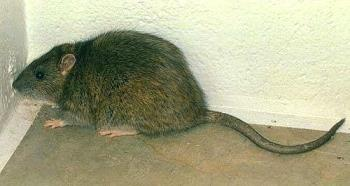Warf Rat - This is a rat like the one I encountered, only this rat looks clean and almost cute, the one in my kitchen was NOT cute.