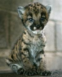 "Baby Cougar - This is a ""mountain lion"" or cougar kitten. The breed is also called a ""puma""."