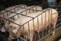 Pigs - Some pigs in pig pen.