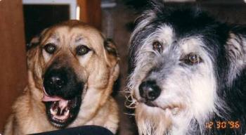 The Doggy Duo - This is a photo of two of 4 dogs we've had over 16 years of marriage. Tasha is the grand Madame of the house and is the tan one on the left. A Lab/Shepherd cross going into her 16th year. The black and white one is Meishka...a Husky/Irish Wolfhound cross that we had to put down at 15 years a couple of years ago.