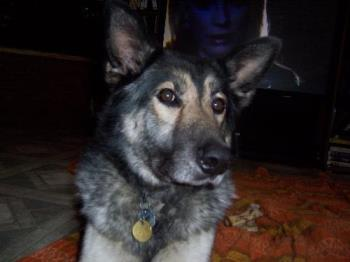 Our handsome dog Cherokee - This is our dog Cherokee a 7 year old German Shepherd/Husky cross. He is a wonderful animal...loving, smart and really a big 'wuss' at heart.