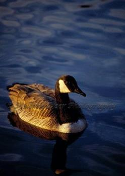 Photo Of A Canada Goose (Watermarked version) - image of a canada goose