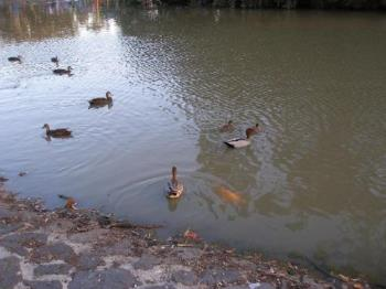 Gold Fish - Ducks and big gold fish at local park in Essendon Melbourne