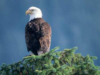 Eagle - Isn't this just a beautiful bird! I love them!