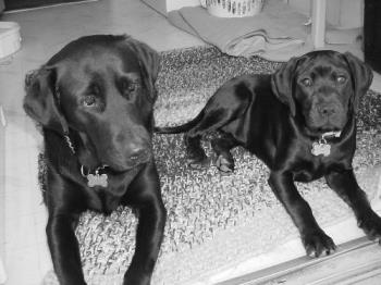my two Lab's  - My two Labrador Retriever's the smaller one is a mix.