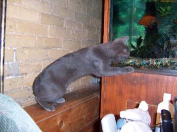 Our gray male cat trying to catch aquarium fish - This is Chakra our male cat trying to catch fish from one of our four aquariums. At least the fish keep him and our other 4 cats amused.