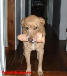 dildo-dog - dog