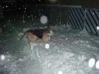 my dog in the snow - my dog playing in the snow
