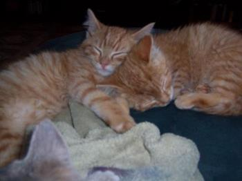 Snuggling Ginger Twin Cats - This photo was taken when our twin male ginger marmalade cats were younger. Tigger and Tee-Tooh are close and have a special bond that is different than the one they share with the other 3 cats we have.
