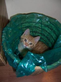 Cute kitty in waste paper basket - This photo was taken of Tigger one of two ginger twin male cats we have. He climbed in and sat there looking around and quite happy with himself!.