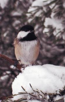 Chickadee - A perfect pose for me!
