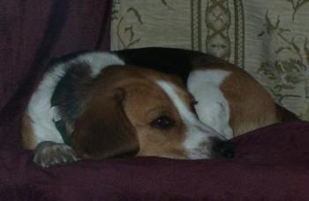 Shilo - Beagle  - Shilo is a 2-3 year old beagle we got from the animal shelter in Jackson Michigan a few months ago.