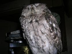 Owl - An owl that was in the Garage
