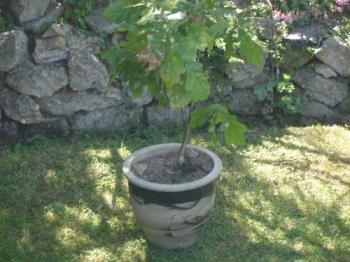 My Oak Tree - Here is my little oak tree which I'm trying to bonsai. It's doing well at the moment, and I hope it continues to do so.
