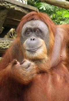 Singapore Icon - Ah Meng - Taken from a family that had kept her as an illegal pet, the ape, who died of old age, soon became a tourism icon for the affluent city-state.