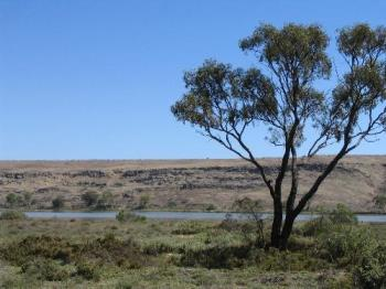 Gum Trees - A lonely gum tree near the Murray River, one of the surviving few after our drought.