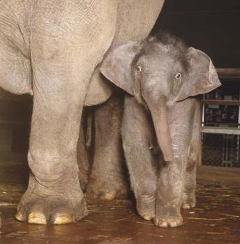 baby elephant - baby with its mother