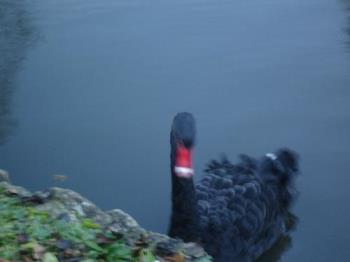Black Swan at The Friars - Regal black swan at the Friars, a monastery in Kent.
