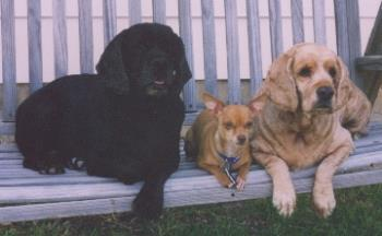 Here they are! - Bubbles is the black cocker, Peanut in the middle and Rainbow is the buff cocker.
