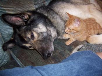 Big dog with a little kitty - Cherokee our male Shepherd/Husky cross lying with Tigger one of our five cats when he was a kitty. Even before we had the cats Cherokee acted more like a cat than a dog.