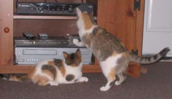 Kittens Want a Movie -  Laverne and Shirley picking out what movie to watch.