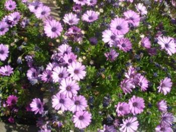 African Daisies - My garden is blooming. It's a wonderful Spring.