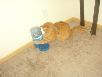 Tigger trying to get more water to gurgle out. - He seems facinated by the gurgling sound whenever the water refills the bowl and keeps trying to make the water gurgle some more. My carpet is soaked in that area from him.