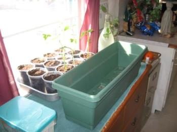 Planter Box - Transplanting the beans in the background to this flower box soon