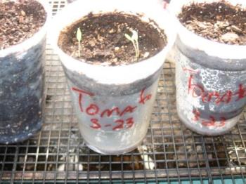 Tomato Seedlings - Here's one of many cups of tomatoes I started indoors