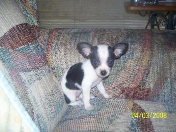 my new puppy - my new puppy, her name is panda, because obviouly she is black and white.