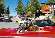 Bear in the Car - Tahoe - Bear in the Car - Tahoe This yearling bear cub clambered into this car and ate the pizza the driver had just picked up!
