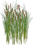 Cat Tails - My brother brought them to my home. They really do look nice.