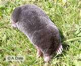 moles - make a mess in the yard making holes in the ground