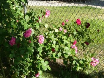 roses - my rose bush