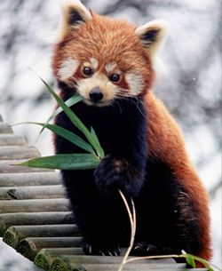 Red Panda - A red panda.. so cute, and fascinating to watch